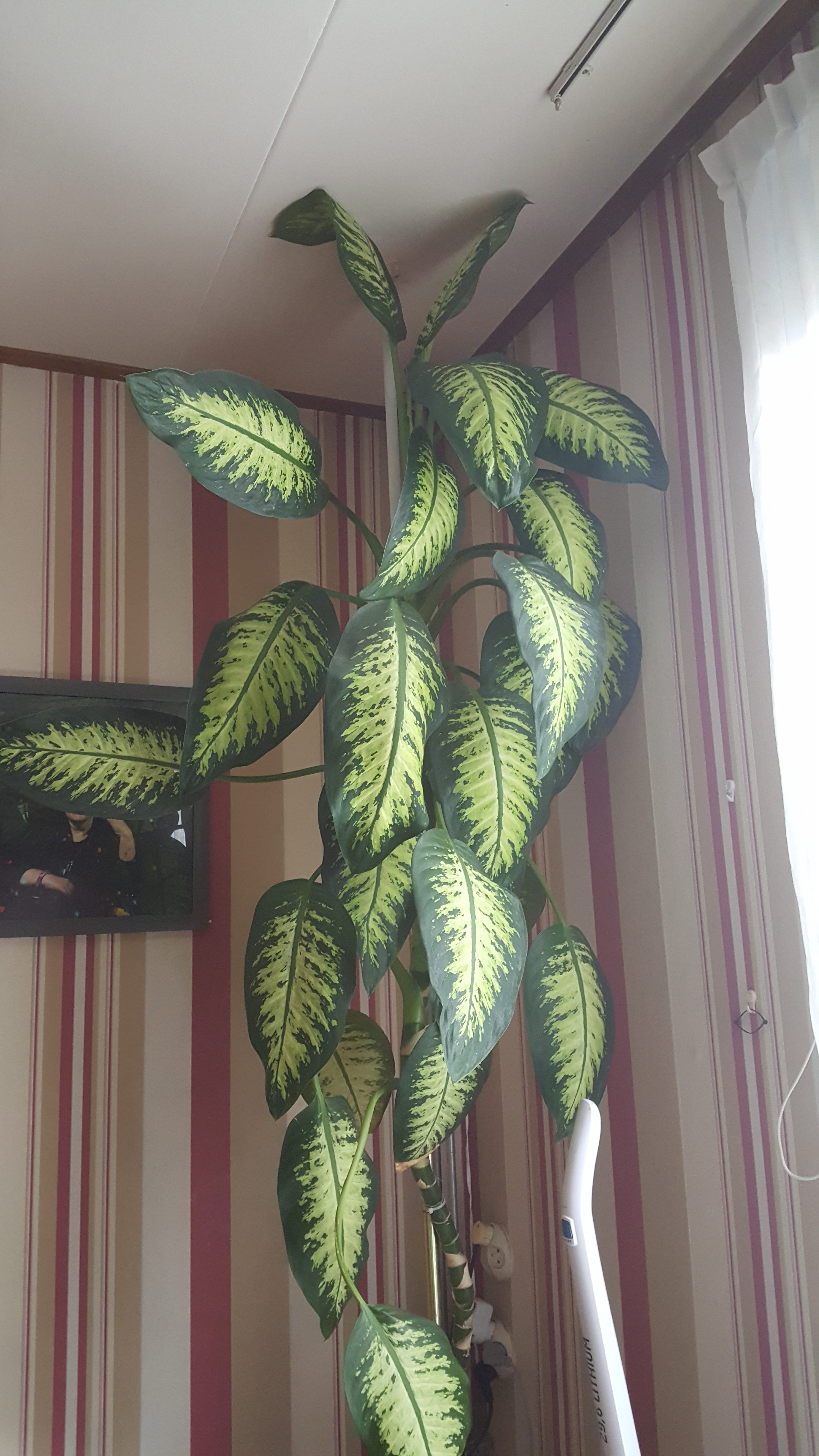 Dieffenbachia 20 jaar oud, 3 meter hoog