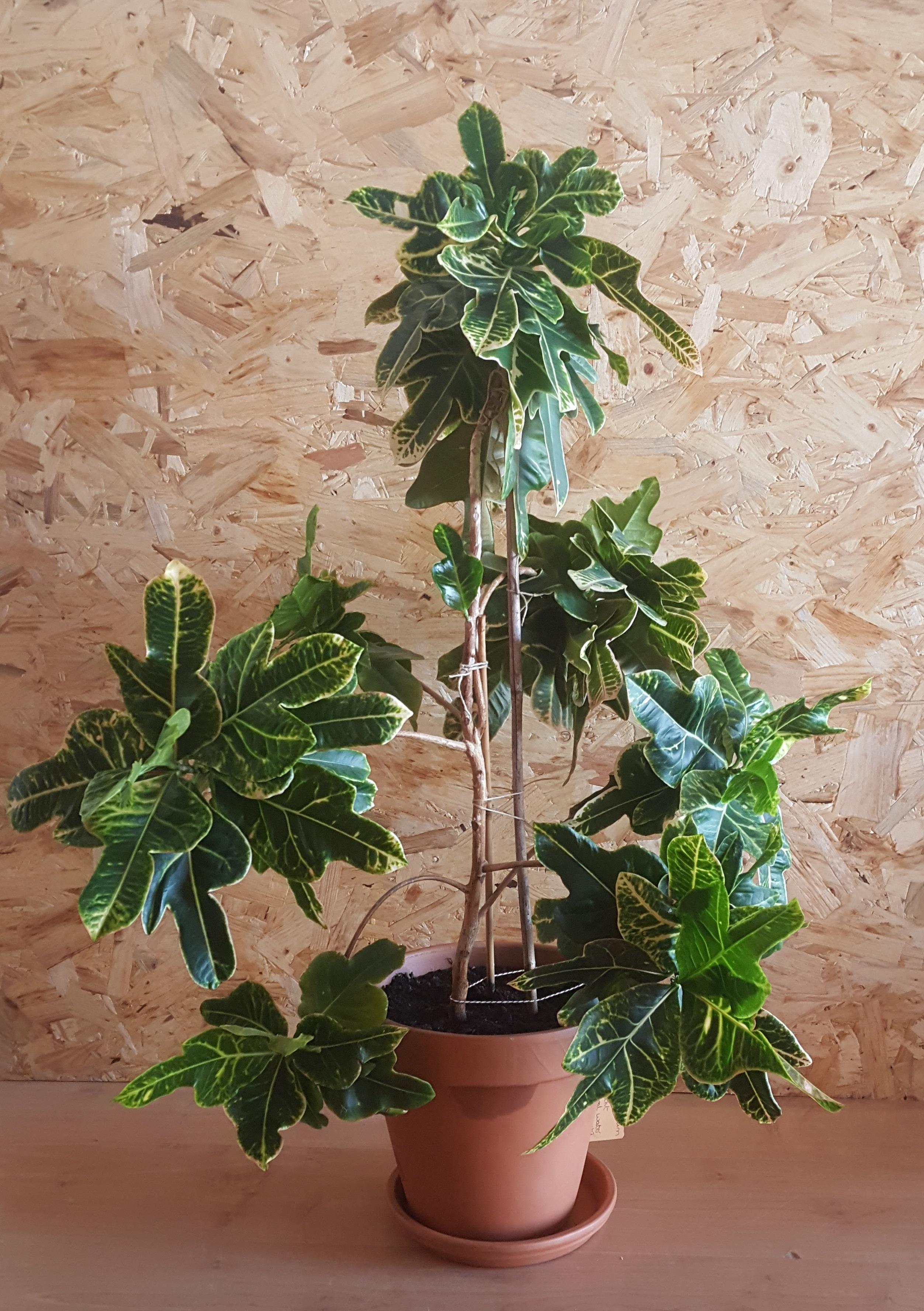 10-jaar oude Croton in terracottapot