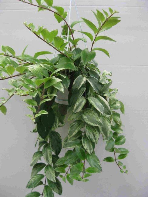 Aeschynanthus-lobbianus-variegata