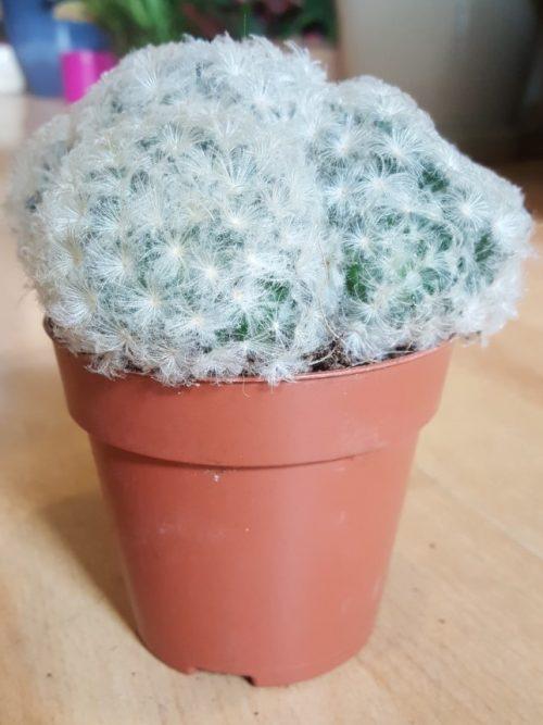 cactus-mammillaria-plumosa