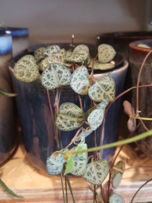 Ceropegia-string-of-hearts-chinees-lantaarnplantje