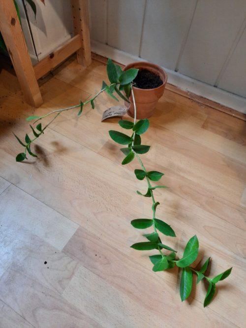 stek-hoya-densifolia-geworteld