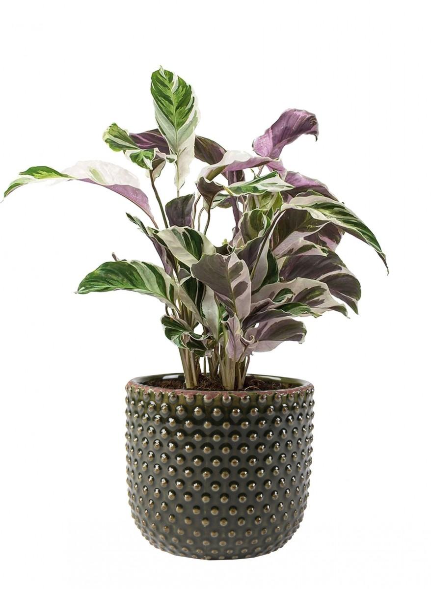 Plantenkamer-bolino-groen