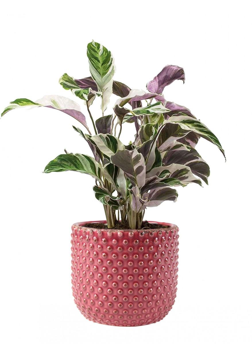 Plantenkamer-bolino-roze