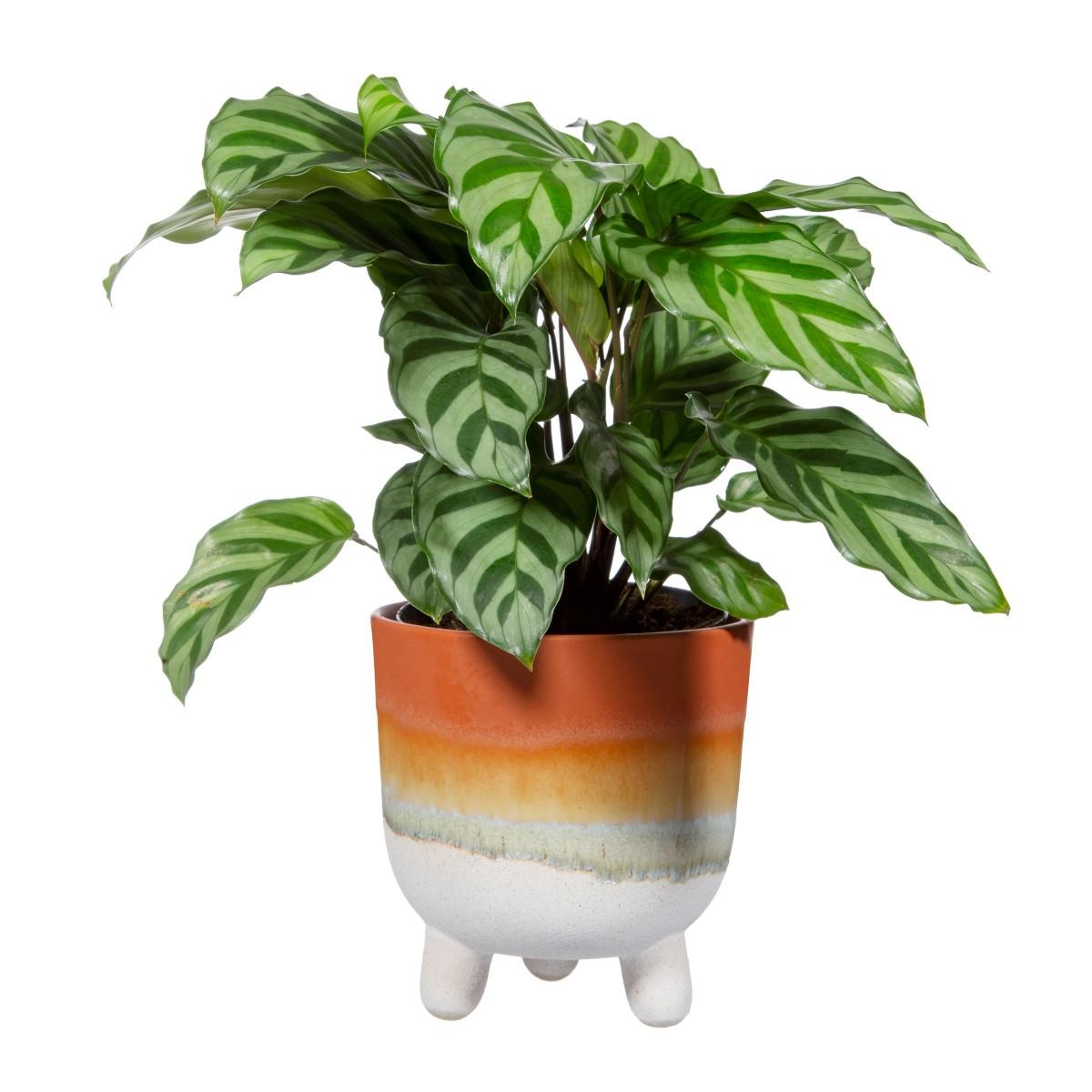 Plantenkamer-sass-belle-mojave-brown-larger